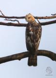 Philippine Hawk-Eagle (Nisaetus philippensis)