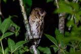 Giant Scops-Owl (Mimizuku gurneyi)