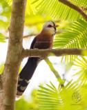 Scale-feathered Malkoha (Phaenicophaeus cumingi)