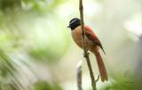 Fantail, Black and Cinnamon  (Rhipidura nigrocinnamomea)