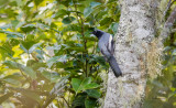 Cuckoo-shrike, McGregor's (Coracina mcgregori)