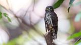 Chocolate Boobook Owl (Ninox randi)