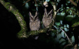 Everett's Scops-Owl (Otus everetti)