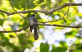 Fantail, Visayan Blue (Rhipidura samarensis)