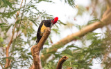 White-bellied Woodpecker (Dryocopus javensis) (MALE)