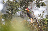 Southern Rufous Hornbill (Buceros semigaleatus)