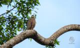 Philippine Serpent-Eagle ( Silornis holospilus)