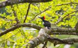 White-bellied Woodpecker (female) (Dryocopus javensis)