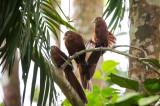 Rufous Coucal (Centropus unirufus)