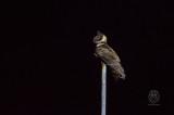 Great-eared Nightjar (Eurostopodus macrotis)