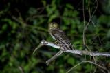Mindoro Hawk-Owl (Ninox mindorensis)
