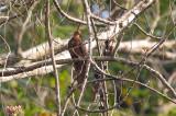 Cuckoo-Dove, Philippine (Macropygia tenuirostris)