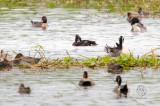 (Duck) Baer's Pochard (Aythya baeri)