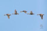 Birds in Flight, Ducks