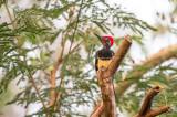 White-bellied Woodpecker (males) (Dryocopus javensis)