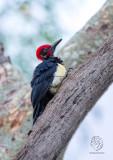 White-bellied Woodpecker (male) (Dryocopus javensis)