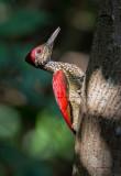 Luzon Flameback (male) (Chrysocolaptes haematribon)