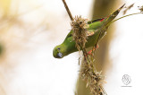 Green-faced Parrotfinch (Erythrura viridifacies)