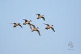 (Duck) Northern Pintail (Anas acuta)