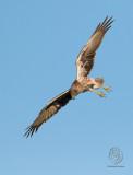 Eastern Marsh-Harrier (female) (Circus spilonotus)
