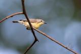 Flyeater, Golden-Bellied (Gerygone sulphurea)