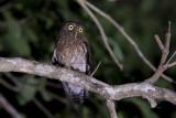 Romblon Hawk-Owl (Ninox spilonota fisheri)