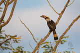 Luzon Hornbill (male) (Penelopides manillae)