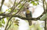 Yellow-breasted Fruit-Dove (Ptilinopus occipitalis)