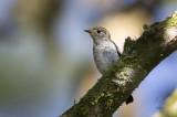 Little-Pied Flycatcher (imm) (Ficedula westermanni)