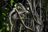 Besra (Accipiter virgatus)
