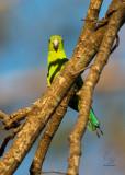 Green Racquet-tail (Prioniturus luconensis)