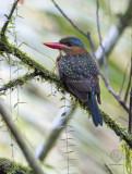 Blue-capped Wood-Kingfisher (female) (Actenoides hombroni)