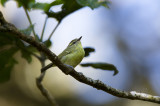 Negros Leaf Warbler (Phylloscopus nigrorum)