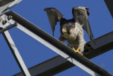 Falcon, Peregrine ( Falco peregrinus)
