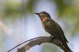 Violet Cuckoo (female)(Chrysococcyx xanthorhynchus)