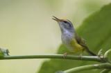 Mountain Tailorbird (Orthotomus cuculatus)