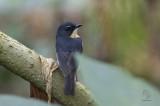 Snowy-browed, Flycatcher (male)  (Ficedula hyperythra) aka Bundok Flycatcher