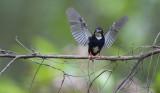 Northern Silvery Kingfisher (Ceyx flumenicola)
