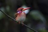 Southern Philippine Dwarf Kingfisher (ceyx mindanensis)