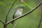 White-throated Jungle-flycatcher (Vauriella albigularis)