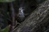 Ground-Babbler, Streaked (Ptilocichia mindanensis)