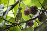 Babbler, Flame-templed (Stachyris speciosa)