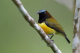 Maroon-naped Sunbird (male) (Aethopyga guimarasensis)
