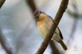 Snowy-browed, Flycatcher (female)  (Ficedula hyperythra) aka Bundok Flycatcher
