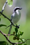 Loggerhead Shrike's, Life Story In Pictures  by Philip S Rathner at (pbase.com)