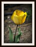 Lone Yellow Tulip
