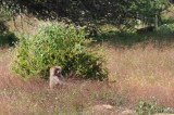 Baboon sitting in a field by a bush