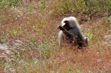 Hamadryas (Papio hamadryas) are the species of baboon found in Somaliland