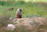 Hamadryas Baboon (Papio hamadryas) on the lookout