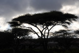 Silhouette of an acacia tree with a cloudy sky, Somaliland